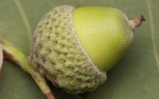 Quercus robur, acorn · paprastasis ąžuolas, gilė
