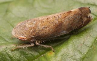 Fieberiella septentrionalis · cikadėlė