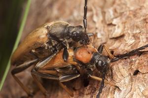 Stictoleptura rubra mating · raudonasis žieduolis poruojasi