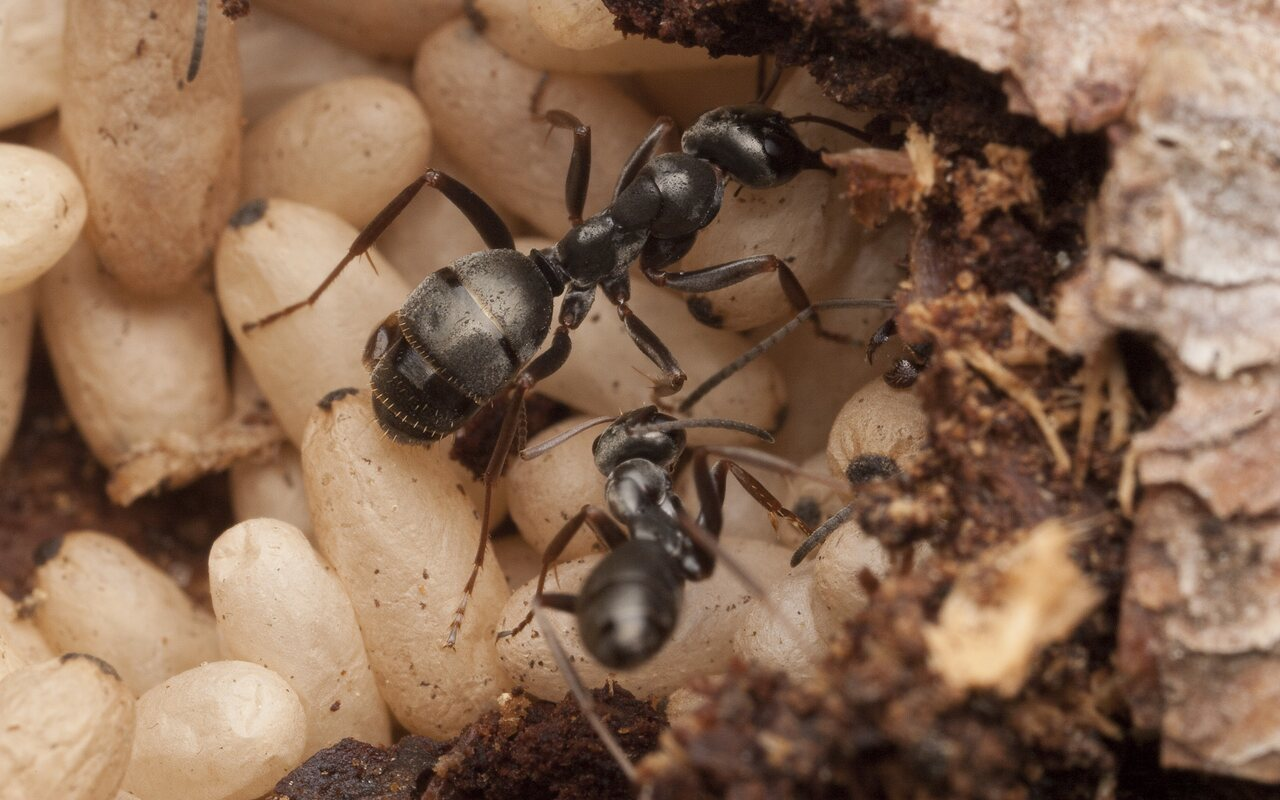 Formicidae-2815.jpg