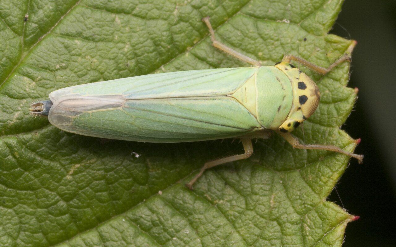 Cicadella-viridis-2817.jpg