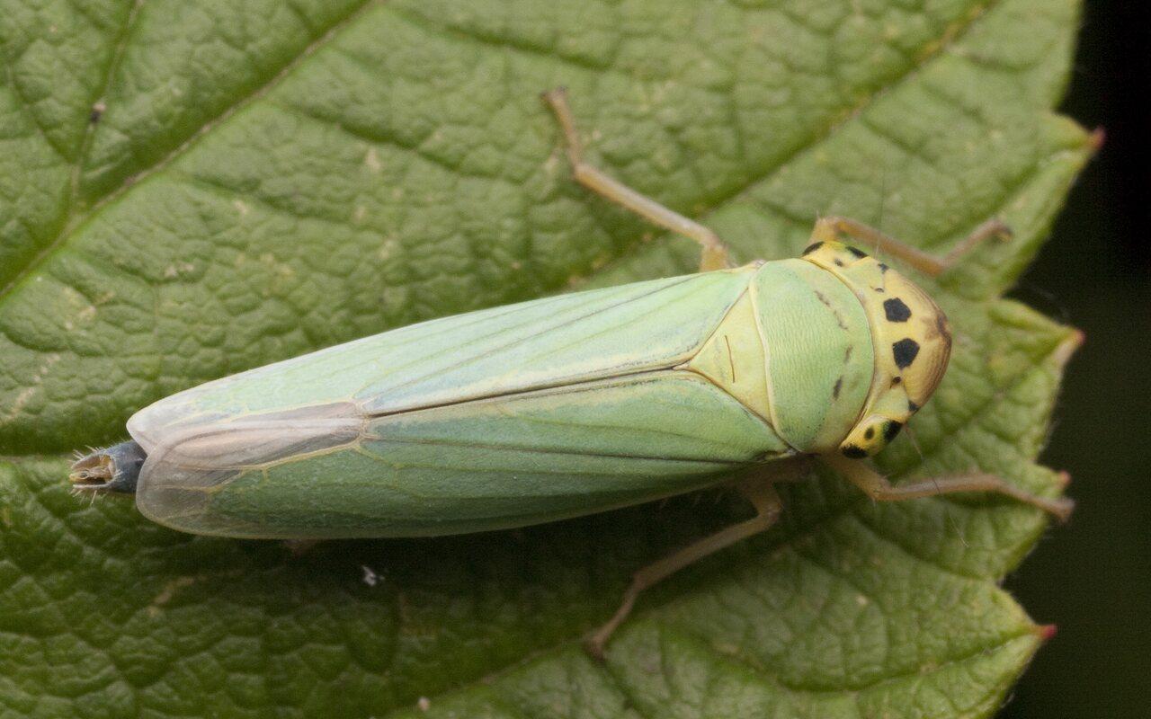 Cicadella-viridis-2819.jpg