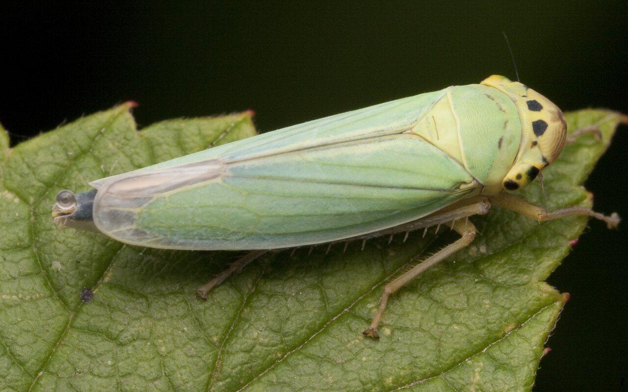 Cicadella-viridis-2820.jpg