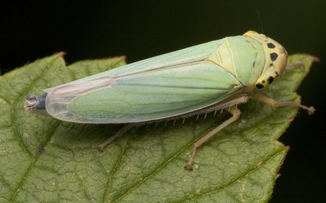 Cicadella-viridis-2821.jpg