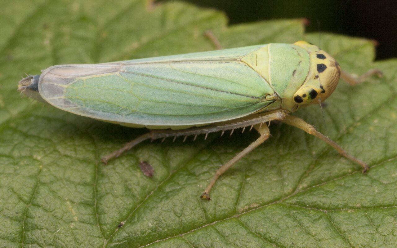 Cicadella-viridis-2822.jpg