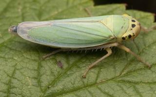 Cicadella viridis · žalioji cikadėlė