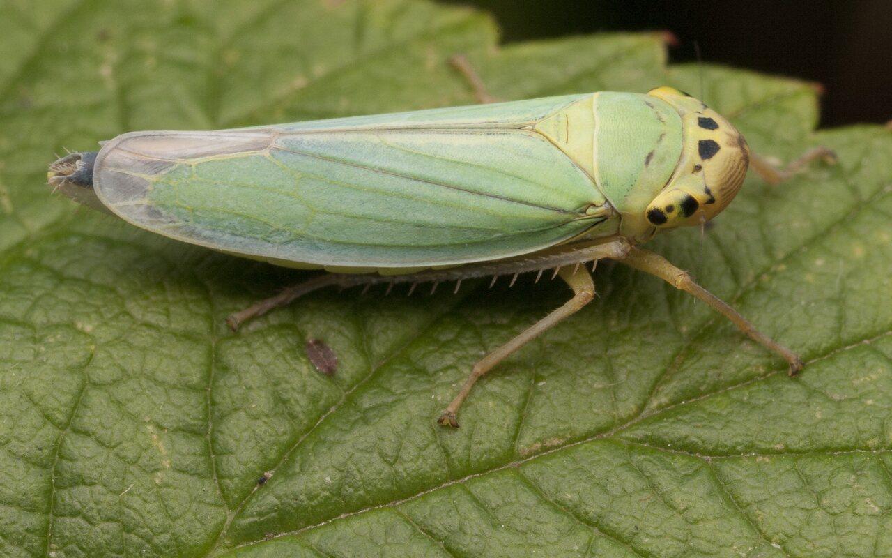 Cicadella-viridis-2824.jpg