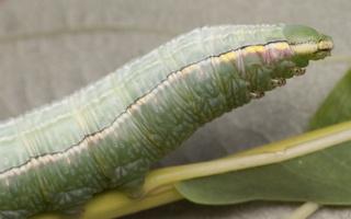 Orthosia incerta caterpillar · paprastasis ankstyvasis pelėdgalvis, vikšras