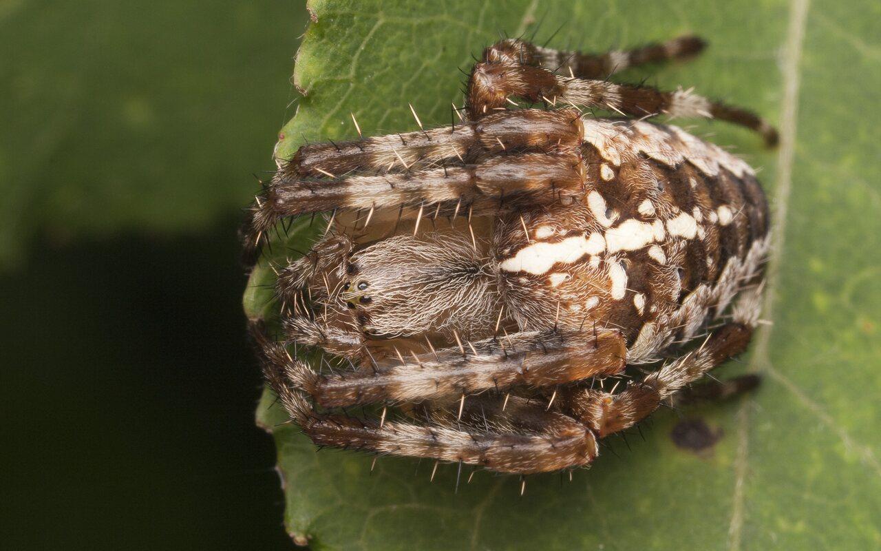 Araneidae-2843.jpg