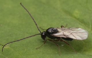 Hymenoptera 2845