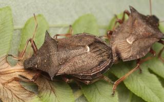 Picromerus bidens copula · dvispyglė skydblakė, poruojasi