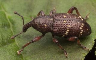 Hylobius pinastri · mažasis pušinis straubliukas