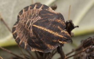 Graphosoma lineatum nymph · juostelinė skydblakė, nimfa