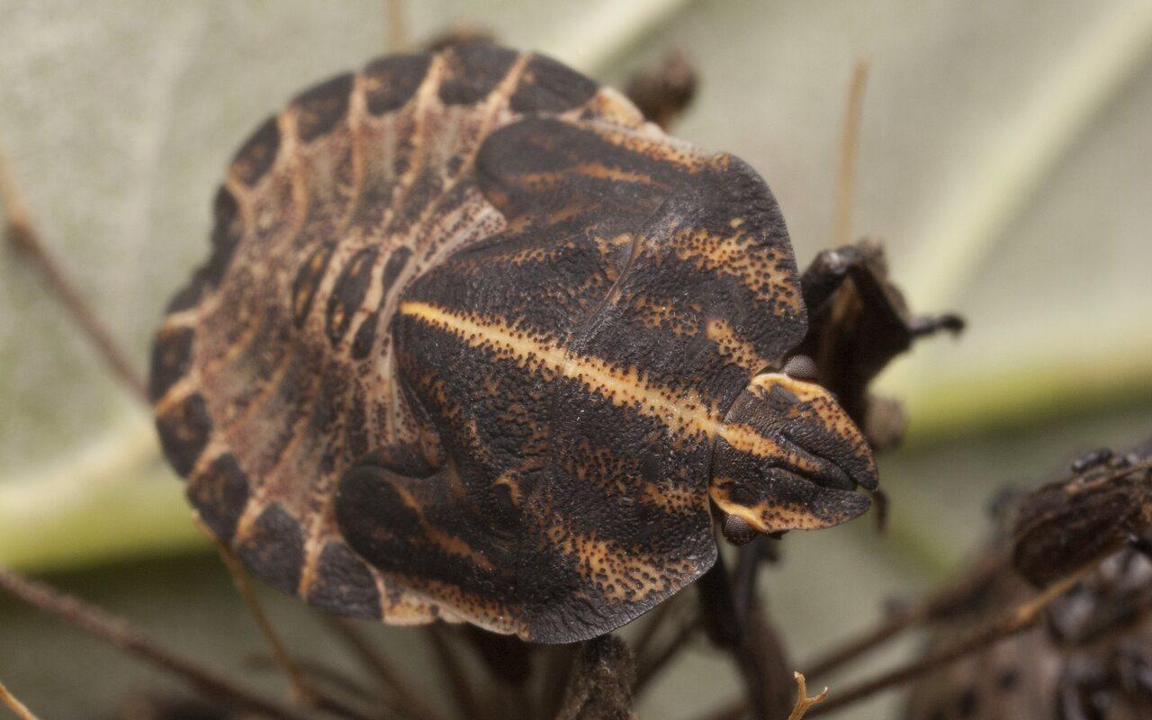 Graphosoma-lineatum-2855.jpg