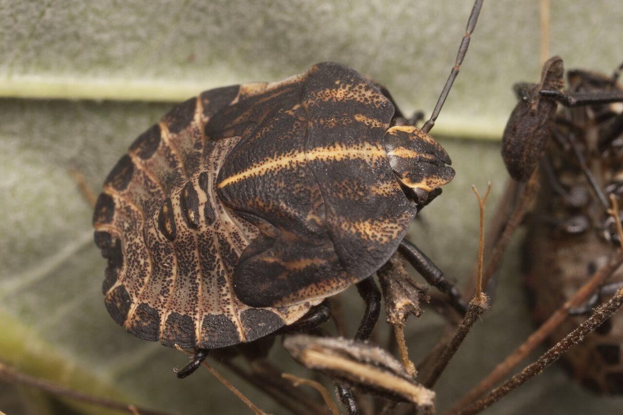 Graphosoma-lineatum-2856.jpg