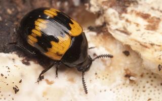 Tenebrionidae · juodvabaliai
