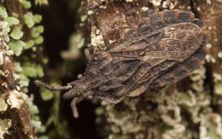 Aradidae · požievinės blakės