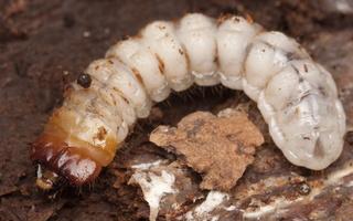 Cerambycidae larva · ūsuočio lerva
