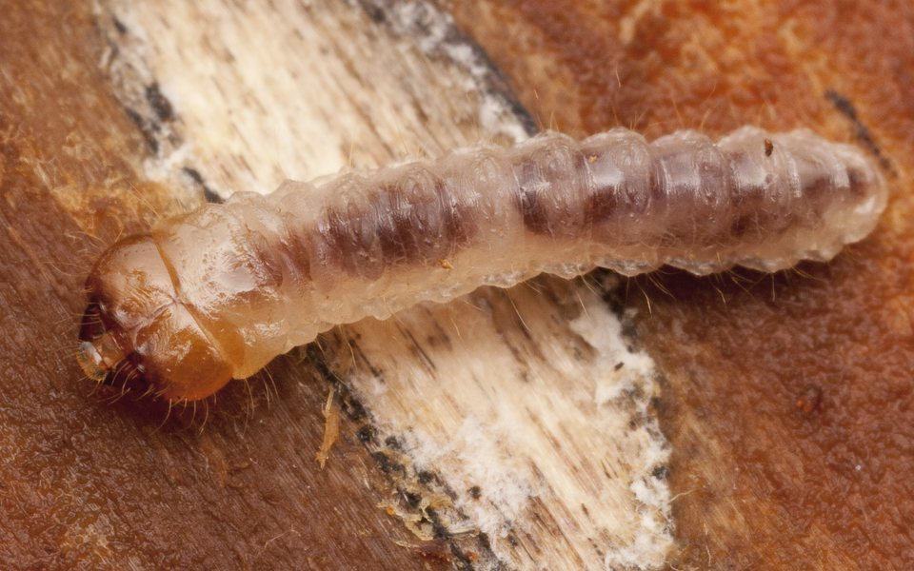 Cerambycidae-2896.jpg