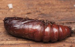 Lepidoptera pupa · drugys, lėliukė
