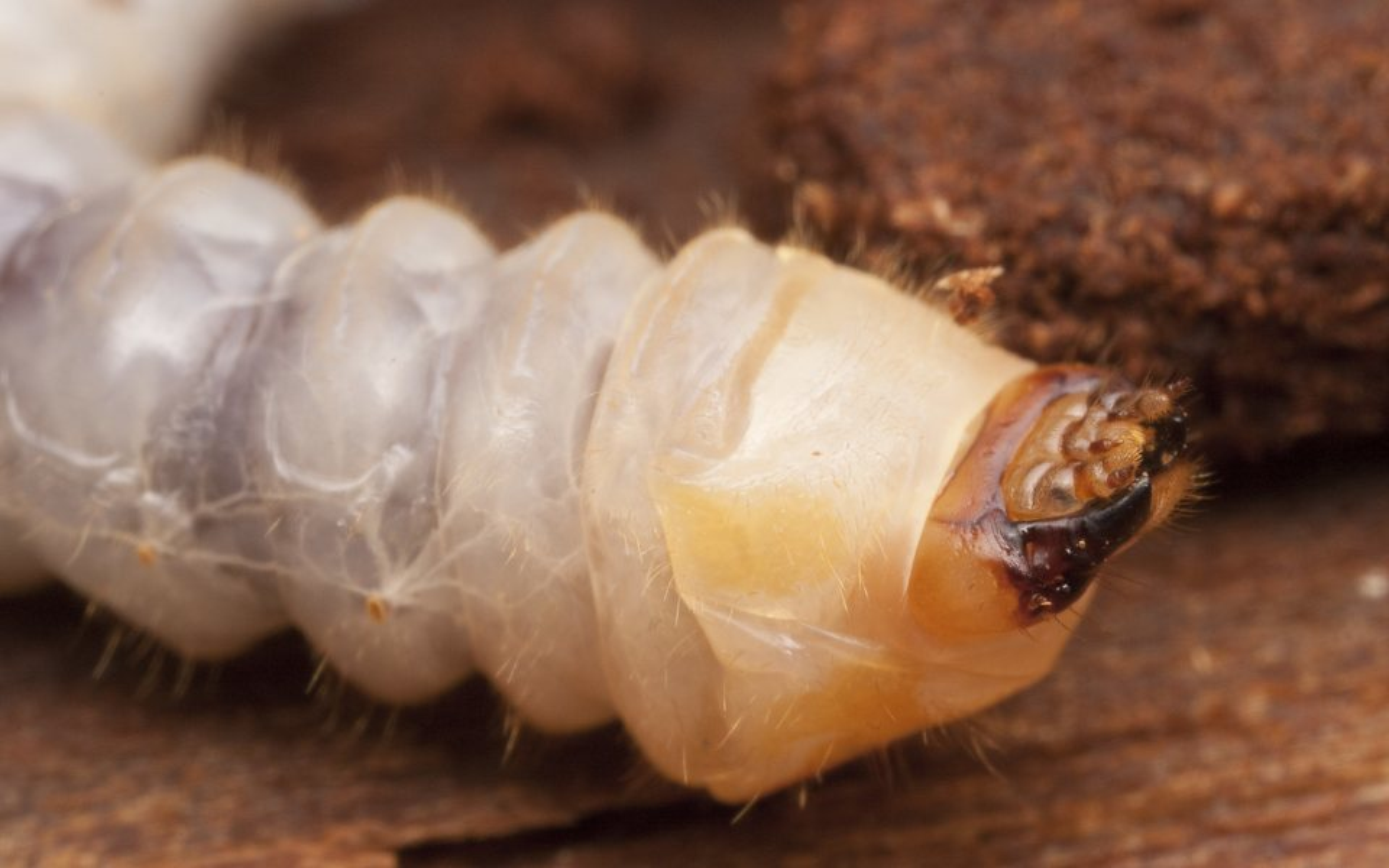 Cerambycidae-2911.jpg