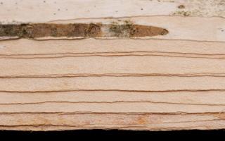 Betula birchbark · beržas, tošis
