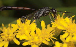 Hymenoptera 2928