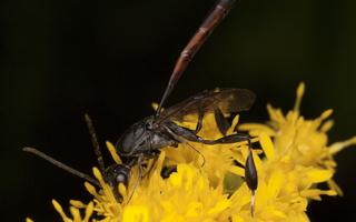 Hymenoptera 2929