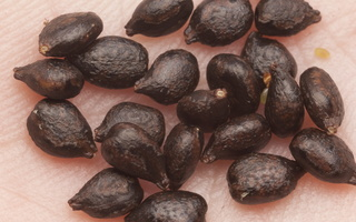 Impatiens glandulifera seeds · bitinė sprigė, sėklos