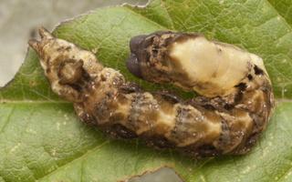 Thyatira batis caterpillar · rožinis pūkanugaris, vikšras