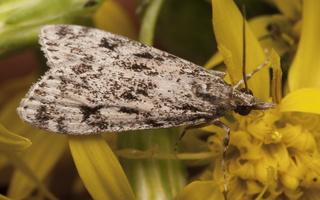 Eudonia lacustrata · margoji dipleurina