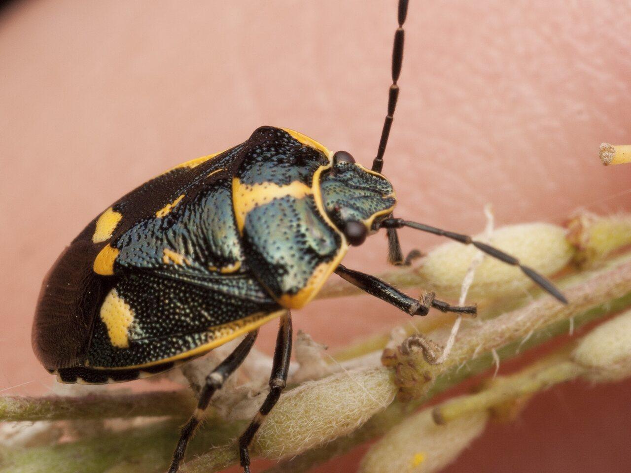 Eurydema-oleracea-2969.jpg