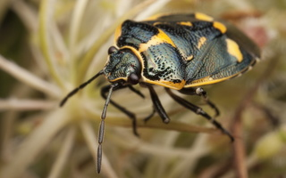 Eurydema oleracea · rapsinė skydblakė