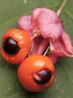 Euonymus verrucosus · karpotasis ožekšnis