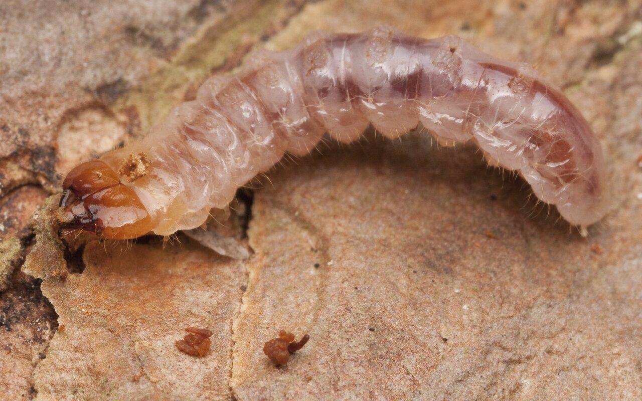 Cerambycidae-2988.jpg