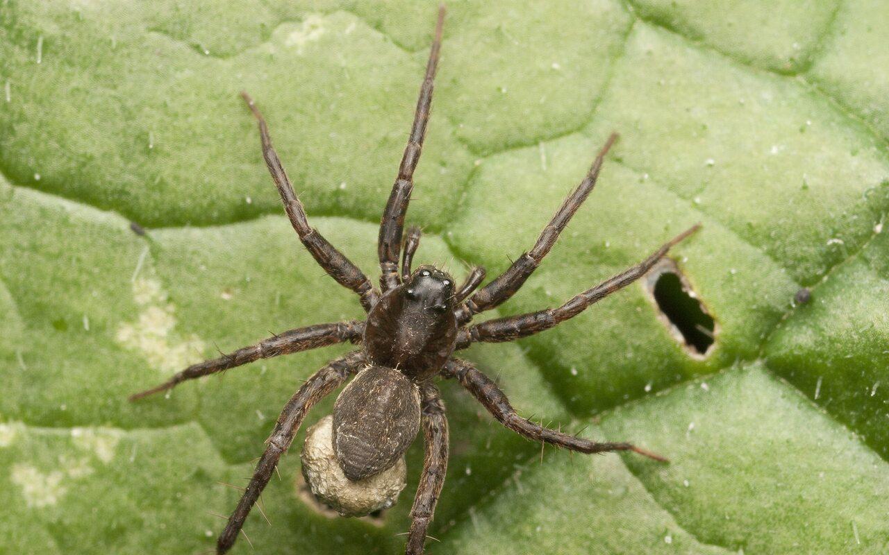 Lycosidae-3012.jpg