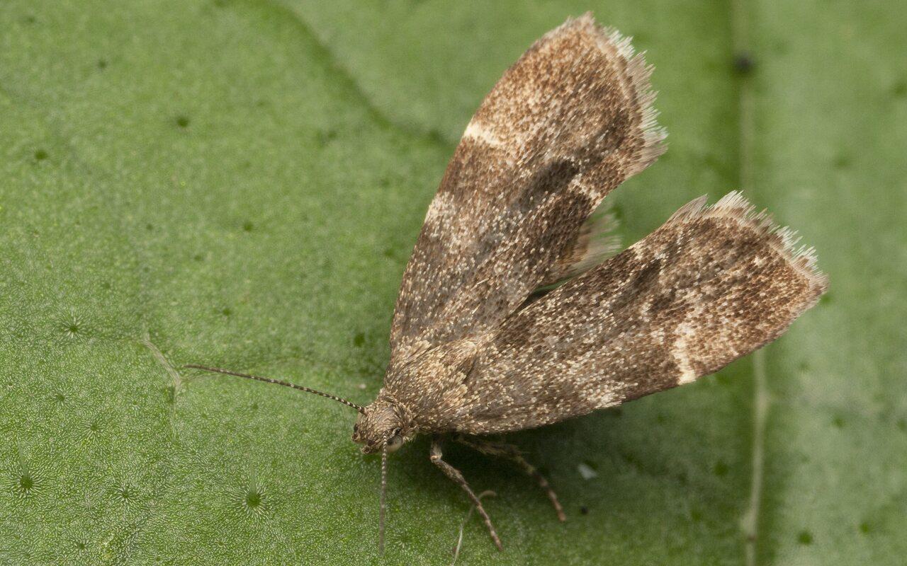 Anthophila-fabriciana-3014.jpg