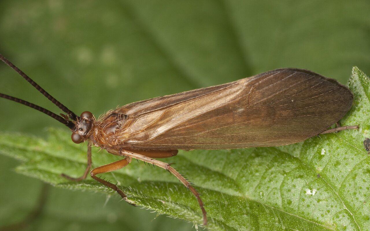 Trichoptera-3017.jpg