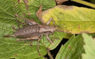 Pholidoptera griseoaptera · keršasis žiogas