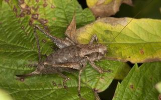 Pholidoptera griseoaptera female · keršasis žiogas ♀