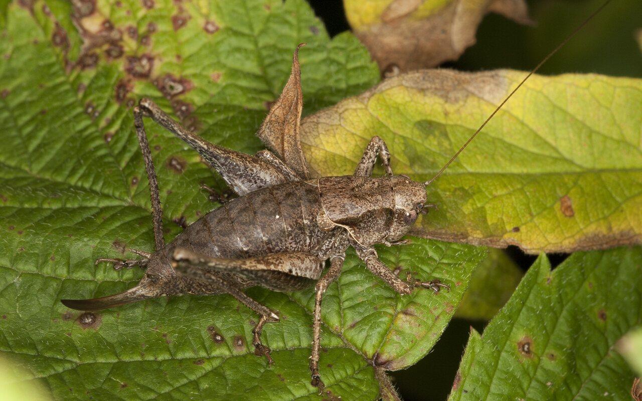 Pholidoptera-griseoaptera-3047.jpg
