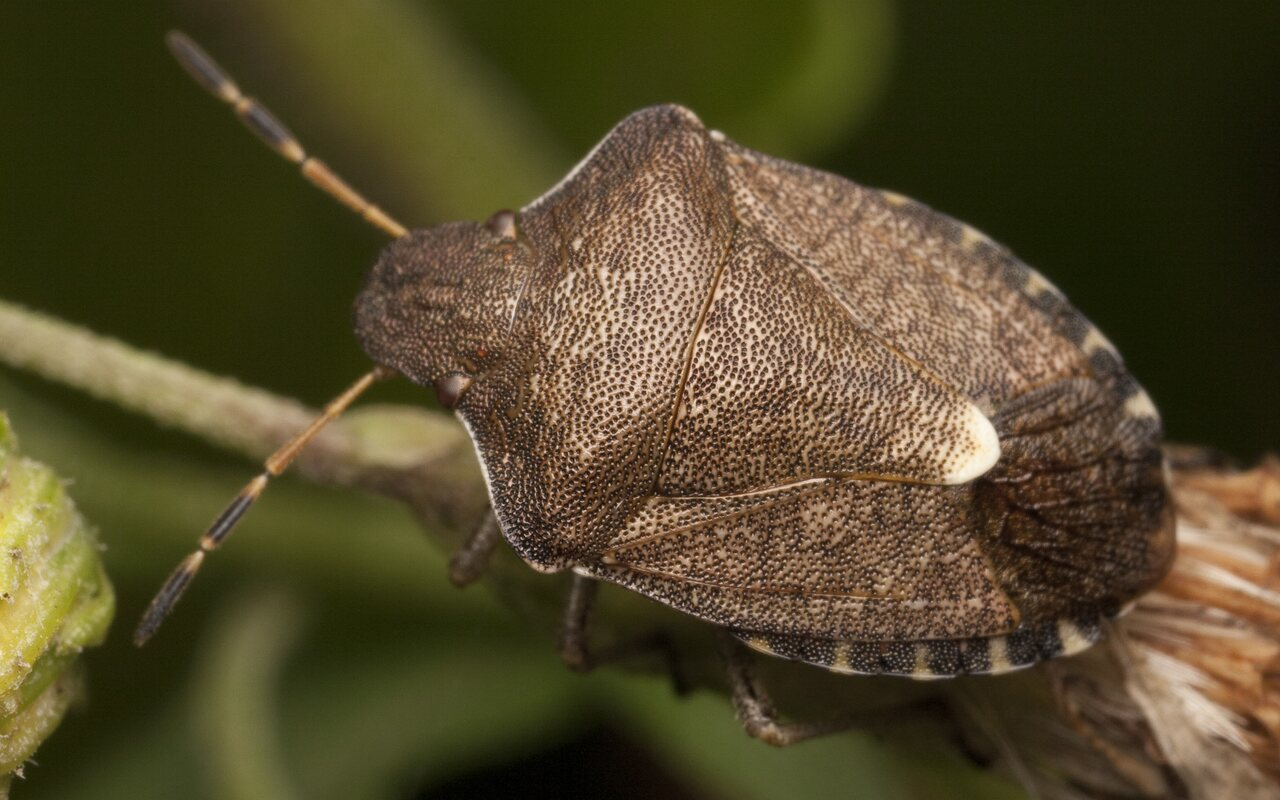 Holcostethus-strictus-3057.jpg