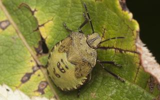 Palomena prasina, 5th instar nymph · medinė skydblakė, nimfa, 5 stadija