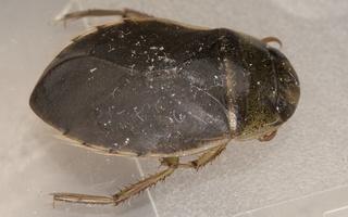 Ilyocoris cimicoides · paprastoji vandenblakė