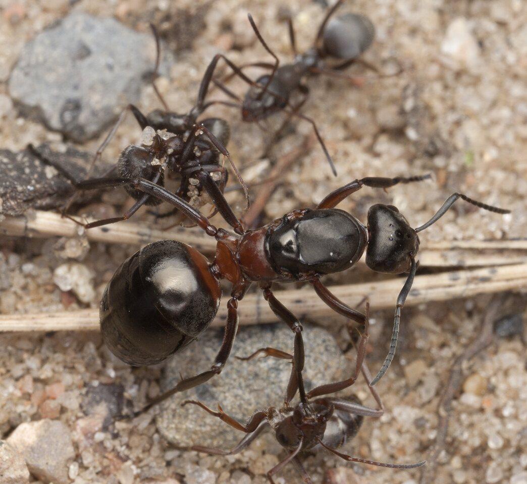 Formicidae-3134.jpg