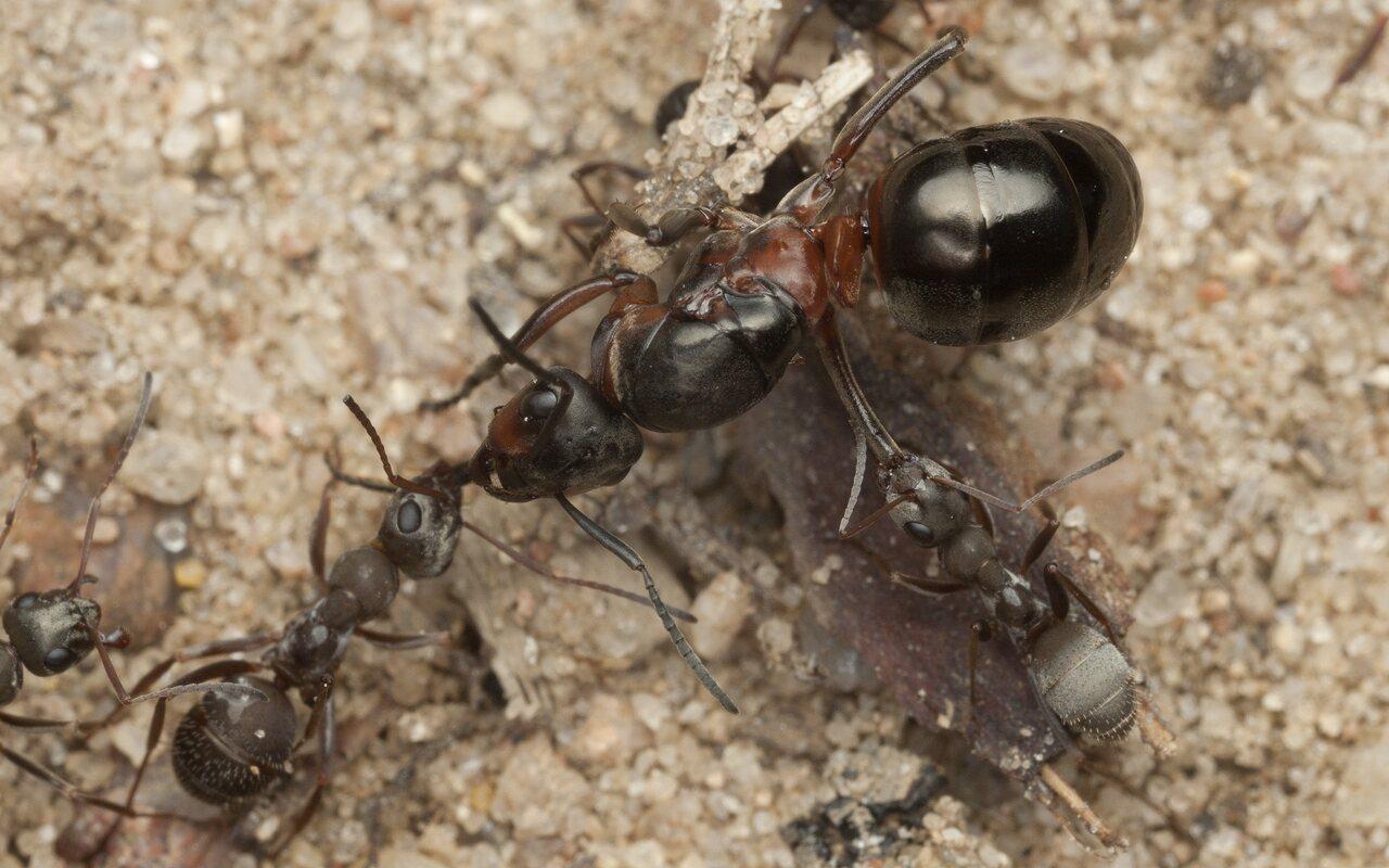 Formicidae-3136.jpg