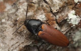 Ampedus pomorum · kelmaspragšis