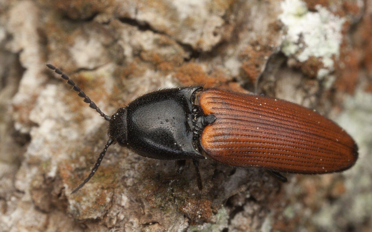 Ampedus-pomorum-3142.jpg