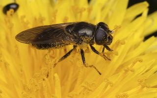 Syrphidae · žiedmusės 3143