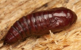 Noctuidae pupa · pelėdgalvio lėliukė